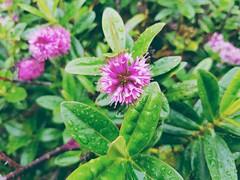 Rain on flowers - Galaxy S7 (Jonno Cass) Tags: plants green wet rain garden moss flickr phone samsung australia galaxy s7 gully ferntree fliter