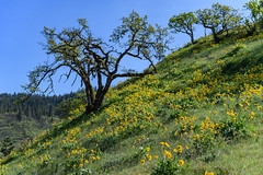 Balsamroot flowers along the Tom McCall Point trail, Oregon (diana_robinson) Tags: flowers oregon wildflowers yellowflowers columbiarivergorgescenicarea tommccallpreserve tommccallpointtrail balsamrootwildflowers rowenacresttrailhead