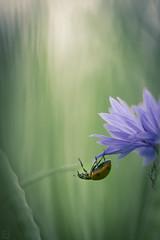 (Emilien Gass) Tags: morning flower macro canon spring bokeh fields ladybug cornflower 100mmf28 550d