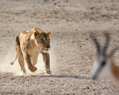 the springbok that got away ~a (PicturesWild) Tags: wildlife lion namibia etosha springbok panteraleo etoshanationalpark leeu nebrownii pictureswild