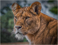 The Lioness (RissaJT_23) Tags: animal animals proud female canon zoo lion sigma pride strong lioness werribee savanna zoolife pantheraleo felidae subsaharanafrica werribeeopenrangezoo canon6d zoosvictoria canoneos6d sigma120400mm