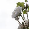White rose against the white (Landleven (Irma Lit)) Tags: white rose tuin wit lopikerwaard lopik geolocation purewhite flickrific klimroos geocity geocountry camera:make=nikoncorporation camera:model=nikond300 exif:make=nikoncorporation geostate exif:model=nikond300 exif:lens=600mmf28 exif:aperture=ƒ80 exif:focallength=60mm exif:isospeed=200 climbingschneewittchen zuiverwit
