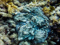 2016 05 27_G1X_Studentresa_0018_edited-1 (Thomas_SJ) Tags: life fish swim marine underwater picture diving scubadiving mallorca underwaterphotography