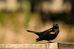 Red Winged Blackbird (Explored 6/15/16) (Marcy Leigh) Tags: bird nature animal outdoors bokeh outdoor depthoffield blackbird redwingedblackbird