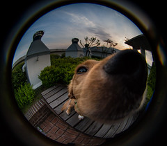 Charlie - Lensbaby Fisheye Portrait II (Jason Ryan Teacher Photography) Tags: portrait dog lensbaby lens fisheye 58mm f35 lensbaby58mmf35fisheyelens