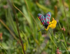 Un peu de couleur dans vos coeurs.... (Rgis B 31) Tags: calmont papillon zygne
