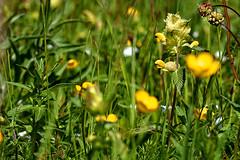 wiesengewusel (MH *) Tags: flower green leaves yellow blossom bokeh meadow wiese gelb grn blte bltter kaiserstuhl schelingen nessel badberg oberbergen sdbaden tamron90mm28 d7200