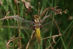 Broad Bodied Chaser 2 (Hugobian) Tags: nature animal fauna insect pentax dragonfly wildlife reserve broad chaser amwell bodied