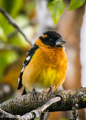 Black-headed Grosbeak (moore.sterling) Tags: grandtetonnationalpark blackheadedgrosbeak sterlingmoore moorethanwildphotography