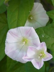 (nofrills) Tags: flowers plants plant flower floral flora roadside babypink   calystegiajaponica