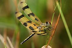 Celithemis eponina  (Halloween Pennant) (TLHibbitts) Tags: dragonflies odonata halloweenpennant celithemiseponina odes