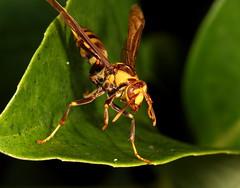 Unhappy Paper Wasp (Darts5) Tags: macro closeup canon bug insect wasp sting insects bugs macros wasps upclose paperwasp insecteyes 7d2 waspeyes ef100l 7dmarkii canon7d2 canon7dmarkii 7dmarkll canon7dmarkll 7d2canon
