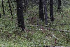 Corallorhiza maculata var. occidentalis - massive group [Explore 2016-06-28] (ab_orchid) Tags: native orchid species alberta corallorhiza maculata