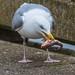 Gull and Fish