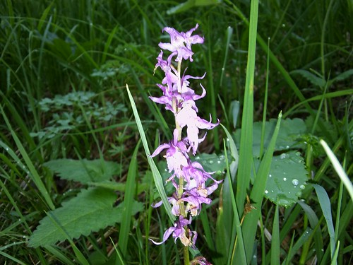 Orchis mascula 20160605_190610