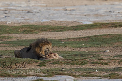 Pride of lions at Okendeka Waterhole (robsall) Tags: africa vacation cat canon mammal big feline lion bigcat lions endangered predator namibia canoneos lioness teleconverter bigcats carnivore vulnerable 2015 pantheraleo 14xtc oshana largefelines 7dmarkii canon7d2 canon7dmarkii canon7dmark2 canon500mmf414x robsallphotography 7dm2 7dmark2 7dmii canoneos7dmark2 canon7dm2 canoneos7dm2 14xiiitc 50014x canon500mmf4lisiiusm14xiii canon500mmf4ii14xiii