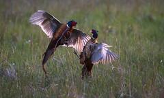 Male Pheasants Fighting (Xuberant Noodle) Tags: male bird animal fight pheasant wildlife