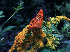 there there (nwalmaerx) Tags: butterfly wood flowers animal insect green blue orange holiday woodland dark light forest animalia phylum trunk dreamlike