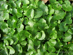 Ranunculus ficaria leaves (Marco Giroletti) Tags: flowers light plants sun plant flower nature colors leaves forest leaf woods milano ranunculus ranuncolo