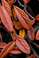 Remains (@richlewis) Tags: orange black macro leaves closeup kent canterbury hedge dying extensiontube fujifilmxt1 fujifilmmcex16 fujinonxf90mmf2rlmwr
