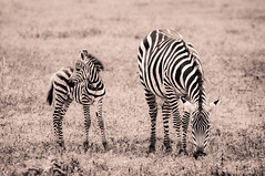Zebra pair (Pappagalla) Tags: blackandwhite nature monochrome animal tanzania mammal wildlife safari zebra babyanimal