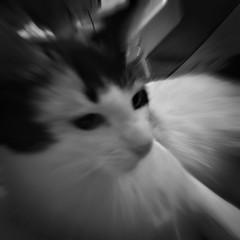 Patsy (pam's pics-) Tags: cameraphone bw pet animal cat kitten feline colorado denver pinhole kitteh co patsy domesticcat petcat pammorris pamspics hipsta appleiphone mobilephonephotography hipstamatic iphone6s