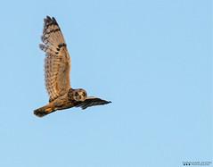 """Locked On"" (Henry T. Cadwalader) Tags: bird nature birds nationalpark nikon wildlife birding raptor owl wyoming grandteton jacksonhole wy jh natureconservancy wildlifephotography jacksonwy"