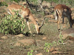 Impala iMfolozi (Joan - BlogBizBuzz) Tags: wildlife drought environment kwazulunatal bushveld africananimals