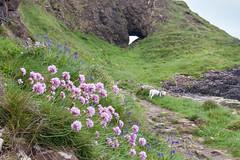 Wiggo, Gid Point (ghostwheel_in_shadow) Tags: ireland sea cliff dog mammal coast europe arch unitedkingdom terrier coastal jackrussell northernireland ulster vertebrate antrim wiggo parsonrussell gidpoint