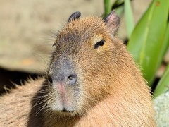 Capybara (dt_images) Tags: capybara wellingtonzoo