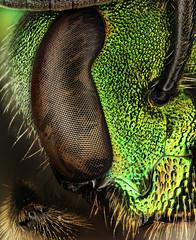 Green Bee, Ohio (Macroscopic Solutions) Tags: ohio macro intense bee crop micro microkit macroscopicsolutions