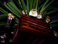 Dracula amaliae species orchid 5-16 (nolehace) Tags: sanfrancisco plant orchid flower spring dracula bloom species 516 nolehace fz35 amaliae