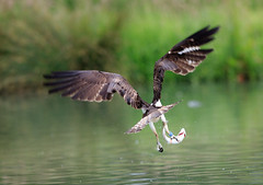 Osprey blue 28 heading home with his trout (Kath.Williams) Tags: rutland osprey troutfarm hornmill blue28