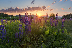 Lupines Sunrise (romiana70) Tags: new travel flowers wild summer england sun white mountains green field sunrise star purple sampler hill meadow franconia hampshire sugar backlit lupines