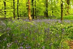 Bluebells (Eddie Crutchley) Tags: flowers england nature woodland europe cornwall outdoor nationaltrust bluebell lanhydrock simplysuperb