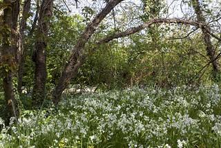 A clump of three cornered leek hidden in a hedgerow