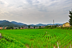 Rice Field Landscape (Johnnie Shene Photography(Thanks, 1Million+ Views)) Tags: ricefield grainfield field yard farm farmland farming clouds cloudscape hdr green photography horizontal outdoor colourimage fragility freshness nopeople selectivefocus longdistance landscape scenic scenery wideangle tranquility tranquil korea yangpyeong gyeonggido luminosity vibrant nature natural wild adjustment countryside country rural local canon eos600d rebelt3i kissx5 sigma 1770mm f284 dc macro lens       shene81