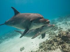 Bottlenose @ Sha'ab El Erg (altsaint) Tags: underwater dolphin redsea egypt panasonic hurghada bottlenose gf1 714mm