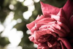 Nikon d5300 macro (Jasrmcf) Tags: flowers blur flower macro nature beautiful rose garden nikon dof bokeh smooth 40mm nikkor nikonmacro bokehlicious bokehgraph