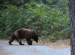 IMG_0307_Black Bear (sdttds) Tags: pictureoftheday blackbear ursusamericanus nevadacityca americanblackbear malakoffdigginsstatepark 366in2016