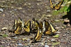 Joining the group... (stevelamb007) Tags: nature butterfly nikon feeding tennessee greatsmokymountainsnationalpark stevelamb d7200