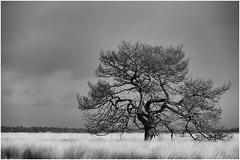 Lonely Tree (Thunderbird61) Tags: bw tree monochrome landscape blackwhite zwartwit nb sw nl landschaft baum niederlande zw hogeveluwe schwarzweis neroetblanco