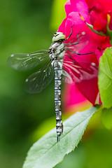 IMG_7547 (ruut103) Tags: closeup fauna photo dragonfly