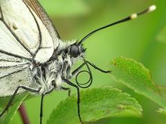 groot geaderd witje (Aporia crataegi) (jorden vrebosch) Tags: aporia crataegi groot geaderd witje blackveined white