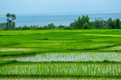 Je tombe en amour  nouveau, chaque fois que je regarde tes yeux. (- Ali Rankouhi) Tags: rice iran paddy  province gilan    1395