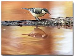 "Carbonero comn "" de caza , (Parus major) (Carpinet.) Tags: naturaleza bird primavera nature animal arbol major ave wildanimal pajaro rama tordo parus carbonero comn posado posadero"