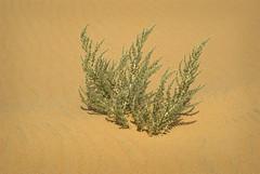 South Of Singing VIII (Doha Sam) Tags: summer digital sand nikon raw desert dunes wilderness qatar d80 southerndesert samagnew smashandgrabphotocom wwwsamagnewcom maketiff manualrawprocessing