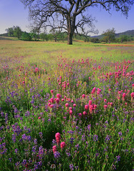 isabel oak and flowers (hbphototeach) Tags: approved isabelvalley isabelvalleyranch springwildflowers owl clover lupine large format photography landscape bayarea california ranch toyo 45ax film velvia