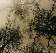 Guarding Pine (raf6x6) Tags: sky mountain alps tree 120 6x6 pine analog forest blackwhite kodak 2nd lith alpen rodinal bume baum badgastein lithprint chloride se5 fhren 80mm pentaconsix ammonium biometar moersch bromesko catechol