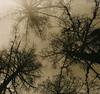 Guarding Pine (raf6x6) Tags: sky mountain alps tree 120 6x6 pine analog forest blackwhite kodak 2nd lith alpen rodinal bäume baum badgastein lithprint chloride se5 föhren 80mm pentaconsix ammonium biometar moersch bromesko catechol
